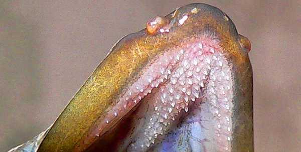 Hechelzähne