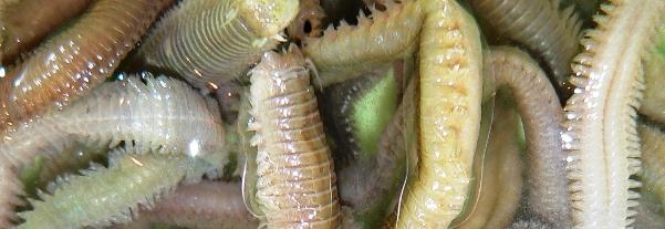 Seringelwürmer